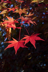 IMG_4862-maple autumn leaves-garden-A (geoffgleave) Tags: autumn leaves garden japanesemaple