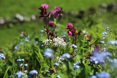 May flowers (siebensprung) Tags: flowers mountains alps nature spring natur berge bloom alpen blume wildflower frhling gebirge blhen wildblume