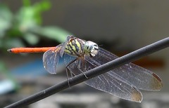 DragonFly_8 (whisky sierra) Tags: dragonfly flyinginsect smallinsect
