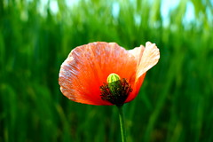 lonely (nelesch14) Tags: summer flower macro green nature bokeh meadow poppy wilted lonely