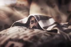 Hide and seek (GiuliaCibrario) Tags: sleeping dog pet home animal animals hearts photography nap heart sweet sleep indoor pillow sofa hide animali mydog nascondino cuscini sonnellino coperte