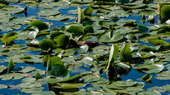 DSC_0047 (Adrian De Lisle) Tags: vancouver duck burnaby mallard babyduck burnabylake