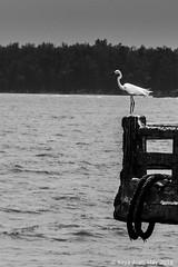 Crane at Vijaydurg (keyaart) Tags: bird creek fort crane konkan vijaydurg