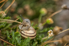 Eobania vermiculata al pascolo3 (Razgriz88) Tags: snail lumaca snails lumache macro meyeroptikgrlitzdomiplan50mmf28 micro micromondo meyeroptik nikon nature natura nikond300 d300 domiplan animali animal animals allaperto macrotubem42mounth