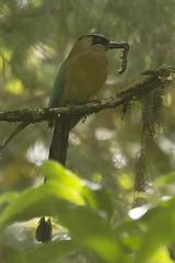 Blue-crowned Motmot (Momotus momota) (Oscar Echeverria - OsLio) Tags: guatemala comida alta larva comiendo motmot cobn bluecrowned verapaz orquigonia