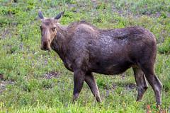 Cow moose (Richard McGuire) Tags: ca canada bc britishcolumbia moose alaskahighway muncholake toadriver muncholakeprovincialpark northernrockiesb