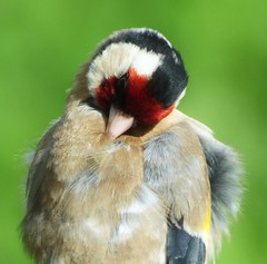 Preening..x (lisa@lethen) Tags: bird nature sunshine wildlife goldfinch preening chick