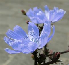 (Shahrazad26) Tags: flowers fleurs bloemen blumen blauw blue bleu blau