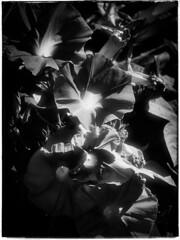 Morning Glory (Firery Broome) Tags: california blackandwhite bw sunlight flower nature monochrome photoshop garden blackwhite dof panasonic mission 365 blooms capistrano morningglory apps naturelovers earthnature gh1 alienskin artofnature blackandwhitenature fullopen monochromemonday gardentravel exposurex notajackolantern capistranomissiongarden