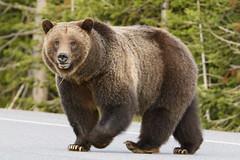 #399 (jrlarson67) Tags: wild brown animal nationalpark nikon wildlife grand grizzly teton d500 399 brear