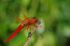 Things In My Backyard (Joe Son Nguyen) Tags: neon dragonfly skimmer
