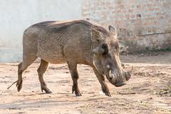 Lake Mburo National Park (MadGrin) Tags: africa facocero warthog orientale uganda repubblica travel viaggio westernregion uga