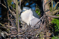 Black-crowned Night Heron - 13 (RGL_Photography) Tags: heron birds us newjersey unitedstates wildlife chicks oceancity jerseyshore ornithology mothernature rookery hatchlings blackcrownednightheron nycticoraxnycticorax wadingbirds capemaycounty migratorybirds wildlifephotography nikond500 greateggharborbay littlefingerchannel staintonmemorialcauseway nikonafs200500mmf56eedvr