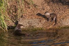 Barking (Sam Schmidt) Tags: california campus arboretum davis otters ucdavis