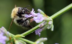 Biene auf blhendem Flieder , NGIDn1954909819 (naturgucker.de) Tags: nauheim naturguckerde ngidn1954909819 cbettinahrr