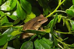 IMG_6327  Polypedates braueri (Vogt, 1911) (vlee1009) Tags: macro june frog   2016  yms 60d