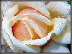 _JVA6825 (mrjean.eu) Tags: park pink flowers blue roses white france flower macro green nature fleur rose yellow fleurs garden nikon jardin botanic lorraine botanique parc metz 105mmf28