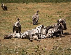 IMG_2478.jpg (Markus Gro) Tags: zebras geier tansania