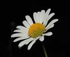 Photo of Ox eye daisy