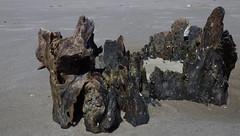 Driftwood Beach Jekyll Island, GA - IMGP4672 (catchesthelight) Tags: driftwoodbeach georgiasmostcompellingbeaches jekyllislandga barrierisland oneofthemostinterestingshorelines whitesand oaktrees driftwood gnarly naturalgraveyard preservation beauty light shadow texture