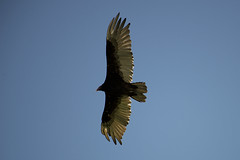 Turkey Vulture (Marv R Penner) Tags: turkeyvulture turkey vulture bird prey saskatchewan nikon d800 200500