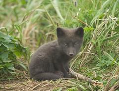 Alaska. (richard.mcmanus.) Tags: alaska st paul island stpaulisland fox arcticfox wildlife mcmanus cub kit