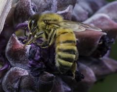 Bee_SAF1167 (sara97) Tags: bee copyright2016saraannefinke endangered flyinginsect insect missouri outdoors photobysaraannefinke pollinator saintlouis towergrovepark