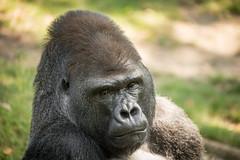 2016-07-25-10h47m29.BL7R1905 (A.J. Haverkamp) Tags: canonef100400mmf4556lisiiusmlens berlin germany ivo dob29011988 pobmunichgermany gorilla westelijkelaaglandgorilla zoo dierentuin tiergarten httpwwwzooberlinde berlijn duitsland