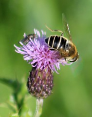 All a buzz (gordontour) Tags: nature wildlife ayrshire scotland clyde girvan insect hoverfly