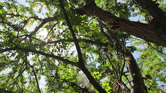 Looking up (alena.luces) Tags: tree tress higjcontrast nature nofilter