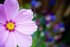 Cosmos (louise.helen) Tags: pink cornflower cornflowers cosmos bokeh dof sigmaart