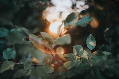 (DrowsyPotato) Tags: sony ilce7rm2 light backlit alpha a7rii mark ii mkii mk2 leaves leaf bokeh 50l 50mm mood beautiful tone tones moody