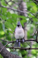 Wait. It's Autumn? (Trish P. - K1000 Gal) Tags: tuftedtitmouse firstdayofautumn brighton michigan bird perchingbird bokeh wildlife familyparidae titmice