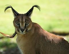 Kasten (greekgal.esm) Tags: caracal feline cat animal mammal carnivore kasten animalambassador sandiegozoo safaripark escondido sandiegozooglobal endextinction california sony a77m2 a77mii sal70300g