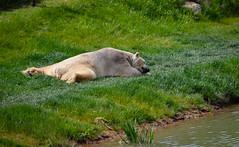Chillin' Like a Polar Bear (littlestschnauzer) Tags: polar bear basking sunshine lying down relaxed chillin chilling ywp doncaster yorkshire wildlife park bears animals white large big nature uk sleeping resting chilled