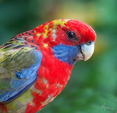 Crimson Rosella portrait (caralan393) Tags: rosella birds crimson