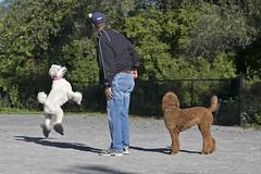 2676 (Jean Arf) Tags: ellison park dogpark rochester ny newyork september autumn fall 2016 poodle dog standardpoodle paul doris gladys jump leap play