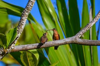 Cinnamon Hummingbird Feeding a Juvenile