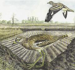 Stone Curlew (Burhinus oedicnemus) by Roy Weller