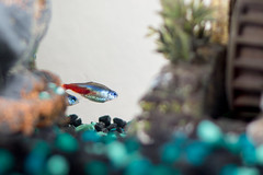 My fish! (ericman2001) Tags: fish neontetra