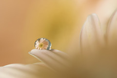 (Julia C. F) Tags: flower macro reflection droplets drops soft pastel flor softness drop gotas gerbera pastels gota reflexo suave suavidade