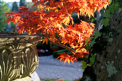 Japanese maple (Rebecca_bexxi) Tags: cemetery freiburg hauptfriedhof hauptfriedhoffreiburg freiburghauptfriedhof freiburgcemetery
