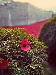 A poppy for Simon Hornby