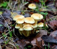 uk Fungi (Simon Dell Photography) Tags: uk wild england mushrooms fungi toad fungus stools