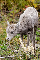 Stop and Smell the Flowers (rwarrin) Tags: animals nationalpark unitedstates wildlife lamb yellowstonenationalpark wyoming ynp bighornsheep