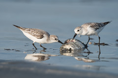 Sanderling (Caladris alba) picking at a dead fish (Dave Montreuil) Tags: africa food fish beach birds animals dead sand feeding eating profile fulllength nobody westafrica gambia senegal lowtide sideview plumage sanderlings tanji wader nonbreeding twoanimals leastconcern caladrisalba