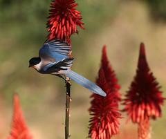 azure-winged magpie (vil.sandi) Tags: flower bird azurewingedmagpie cyanopicacyana kniphofiauvaria blauelster raketenblume traubigefackellilie asphodeloideae