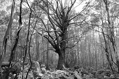 20141130-28-Large tree_BW (Roger T Wong) Tags: trees blackandwhite bw mist tree nature monochrome forest outdoors walk australia hike tasmania mtwellington bushwalk tramp 2014 sonyalpha7 sonya7 carlzeiss35mmf28 rogertwong sonyilce7