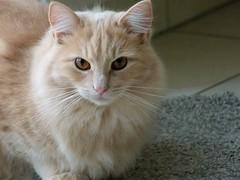Tobbi (portrait) (frankbehrens) Tags: cats tom cat chats chat gatos gato katze katzen kater