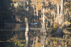 Reflection in Cypress Trees (Bea Hive) Tags: usa reflection water texas bayou cypresstrees uncertain caddolakestatepark
